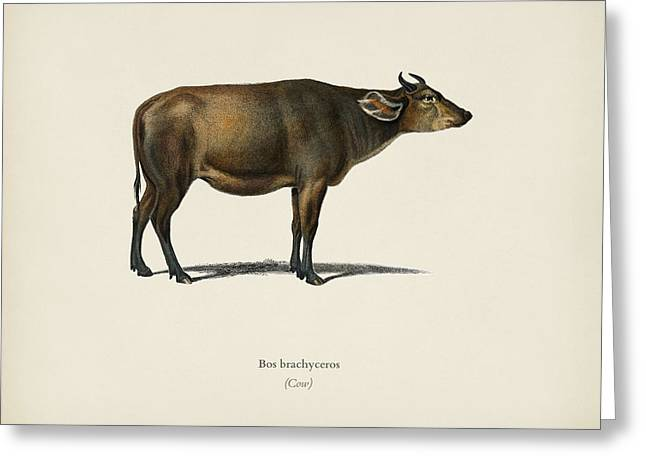 Cow  Bos Brachyceros  Illustrated By Charles Dessalines D' Orbigny  1806-1876  Greeting Card