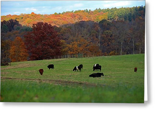 Greeting Card featuring the photograph Cows Grazing On A Fall Day by Angela Murdock