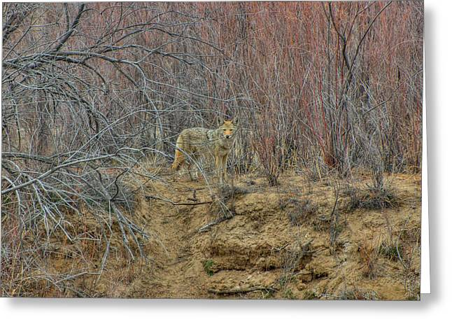 Coyote In The Brush Greeting Card