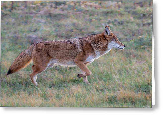 Coyote Portrait Greeting Card