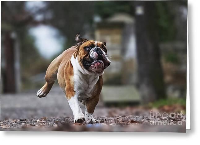 Crazy English Bulldog Puppy Running Greeting Card