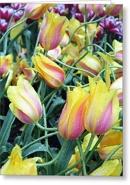 Crazy Tulips Greeting Card