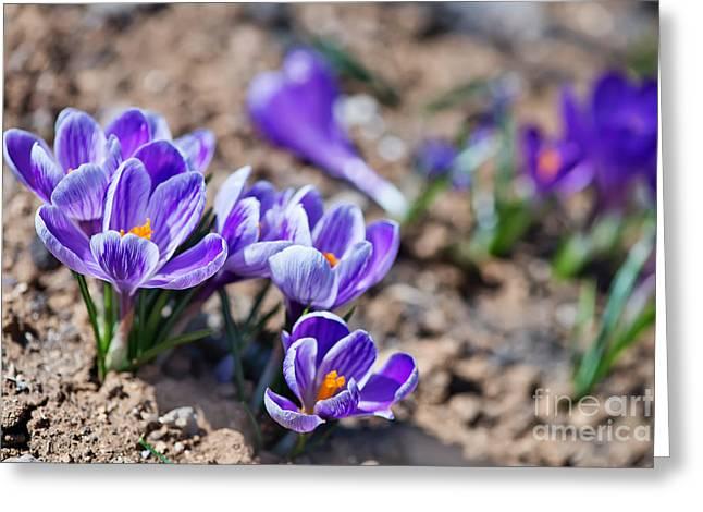 Crocus In Spring Garden, Flowers In The Greeting Card