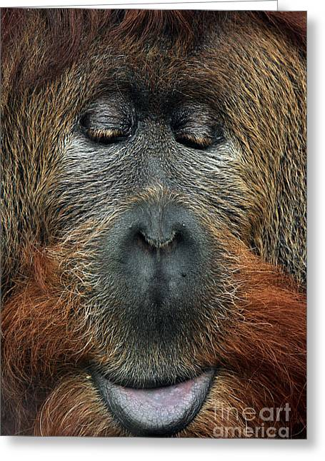 Cross Hybrid Of The Sumatran Orangutan Greeting Card