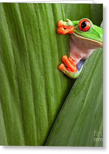 Curious Red Eyed Tree Frog Hiding In Greeting Card