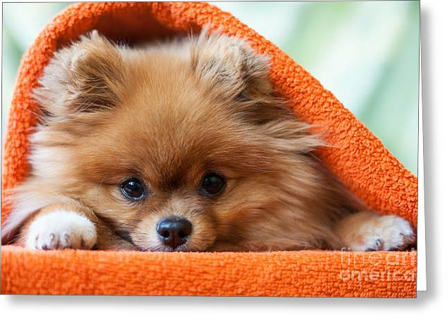 Cute And Funny Puppy Pomeranian Smiling Greeting Card