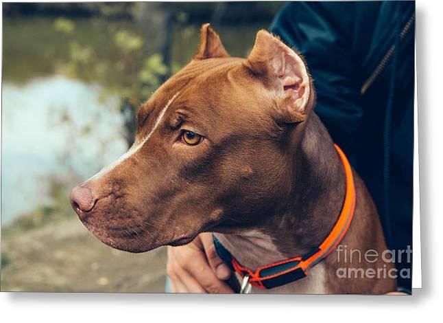 Cute Beautiful Dog Pit Bull Greeting Card