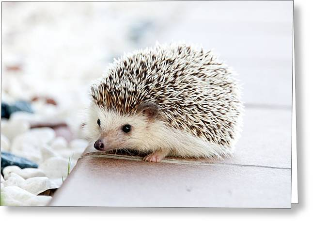 Cute Hedgeog Greeting Card