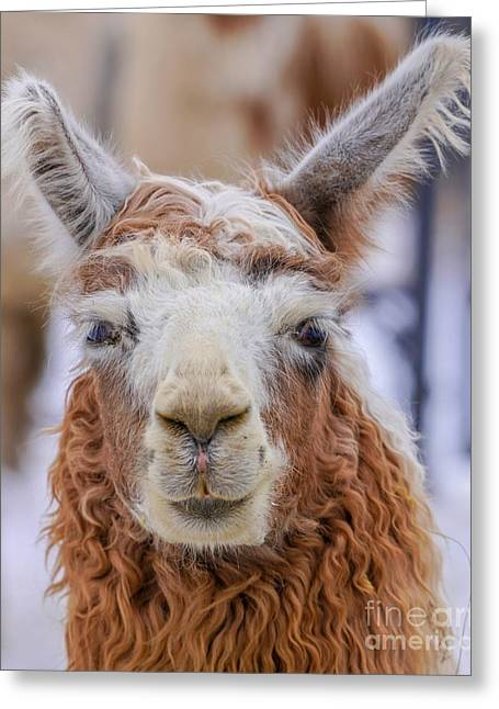Cute Llama Greeting Card