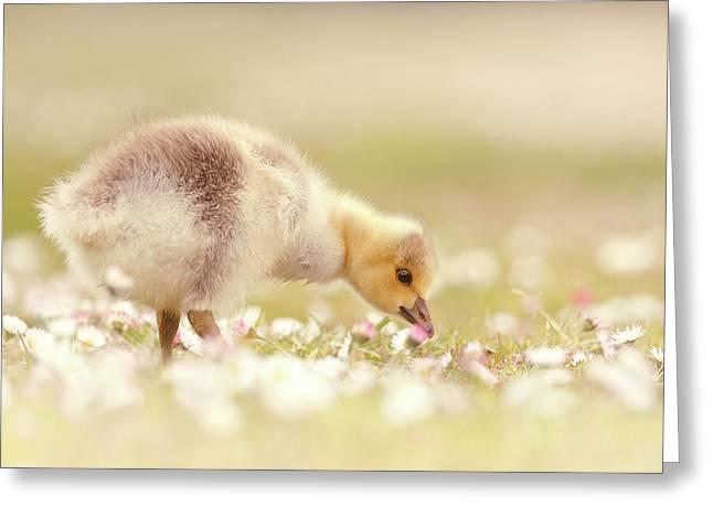 Cute Overload Series - Grazing Gosling Greeting Card