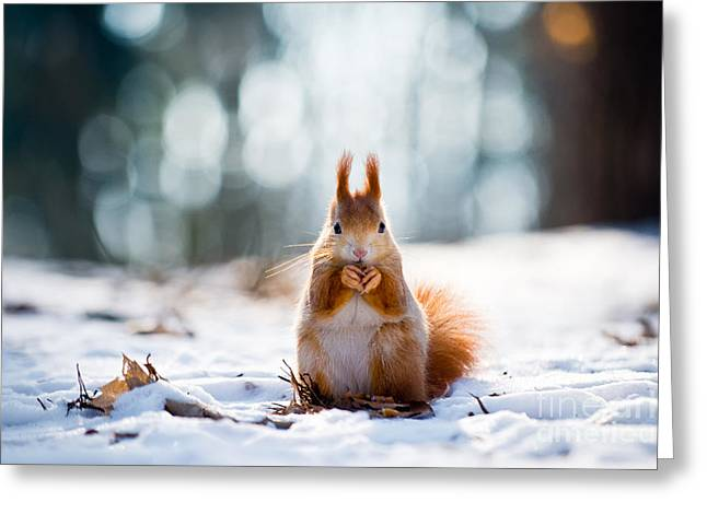 Cute Red Squirrel Eats A Nut In Winter Greeting Card