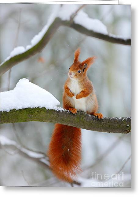 Cute Red Squirrel In Winter Scene With Greeting Card