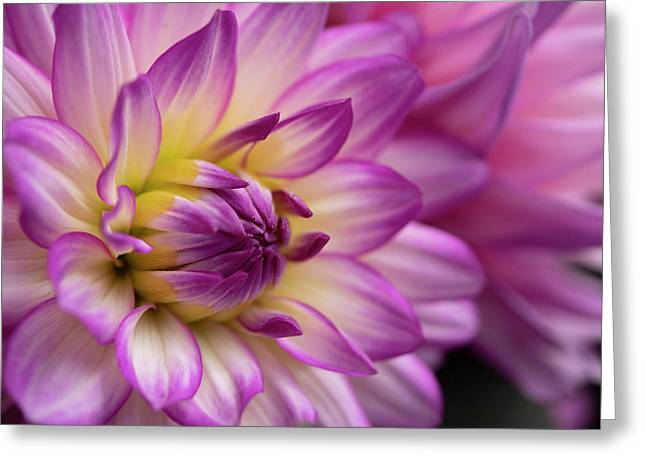 Dahlia II Greeting Card