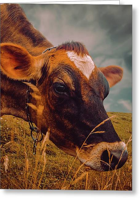 Dairy Cow Eating Grass Greeting Card