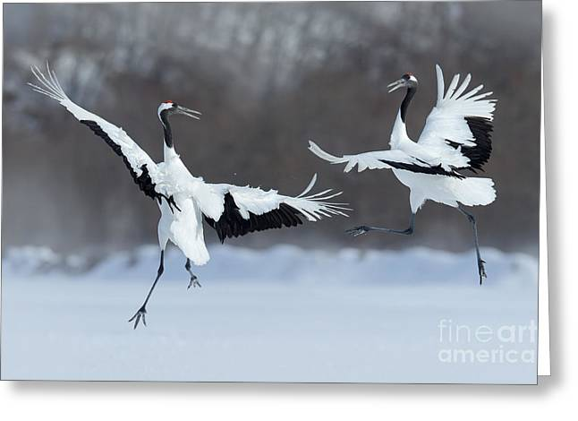 Dancing Pair Of Red-crowned Cranes With Greeting Card by Ondrej Prosicky