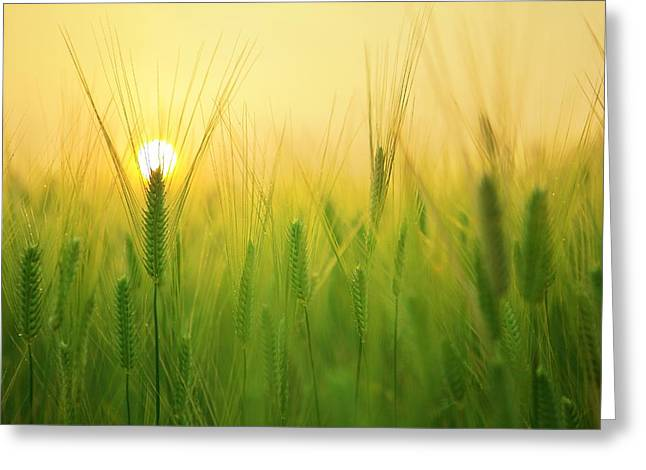 Dawn At The Wheat Field Greeting Card
