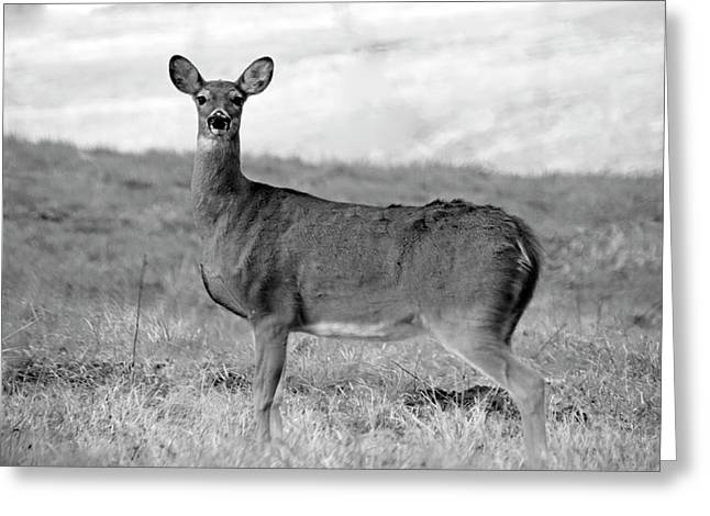 Greeting Card featuring the photograph Deer In Black And White by Angela Murdock