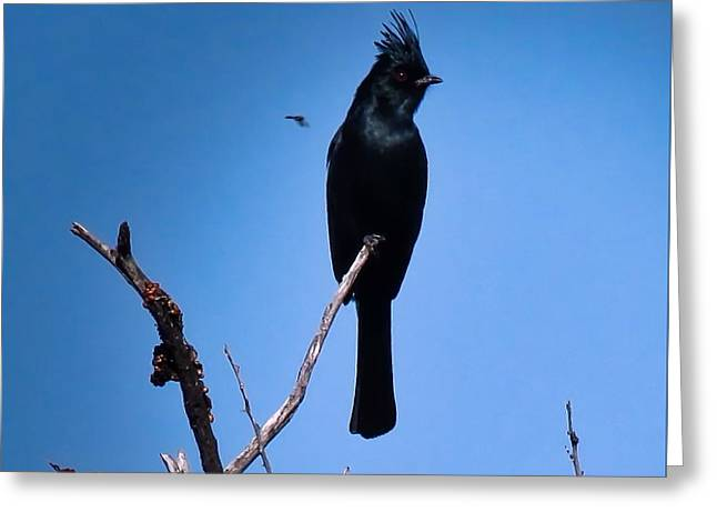 Desert Phainopepla And Dragonfly Greeting Card