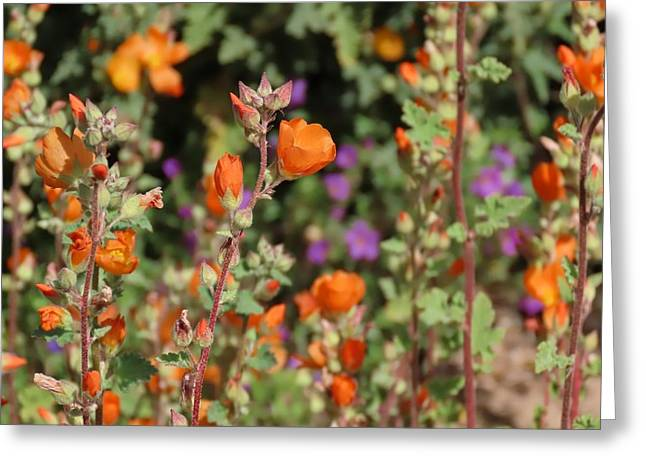 Desert Wildflowers Greeting Card
