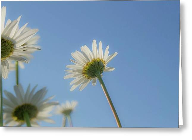 Distracted Daisies Greeting Card