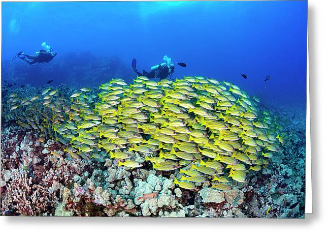 Divers And Schooling Bluestripe Snapper Greeting Card