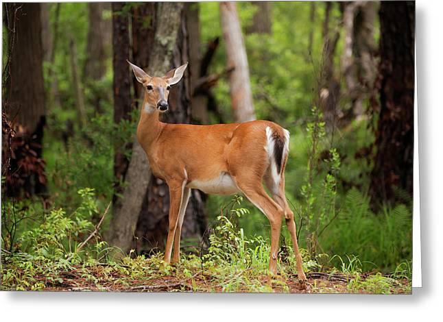 Doe, A Deer, A Female Deer Greeting Card