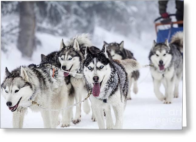 Dog-sledding With Huskies Greeting Card