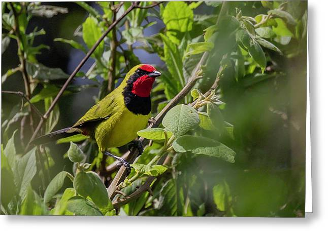 Doherty's Bushshrike Greeting Card