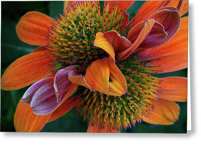 Greeting Card featuring the photograph Double Coneflower by Dale Kincaid