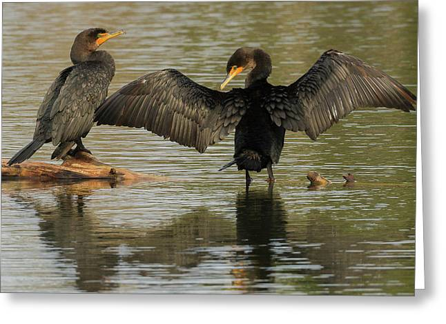 Double-crested Cormorant Pair Greeting Card