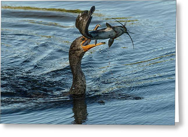 Double-crested Cormorant With Catfish Greeting Card