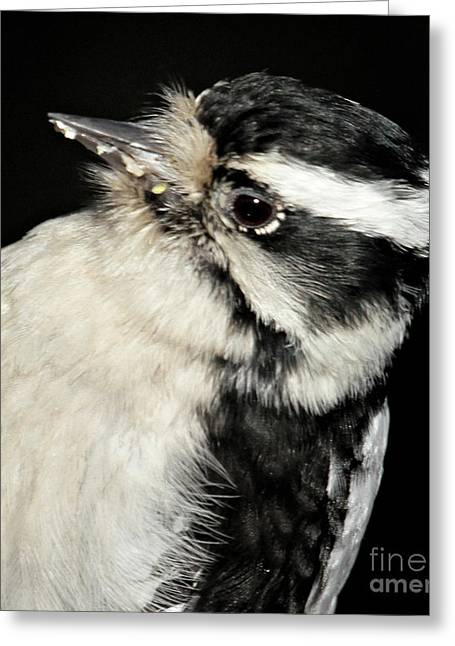 Downy Woodpecker Female Greeting Card