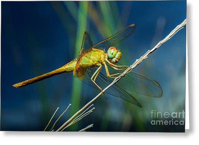 Dragonflies, Insects, Animals, Nature Greeting Card