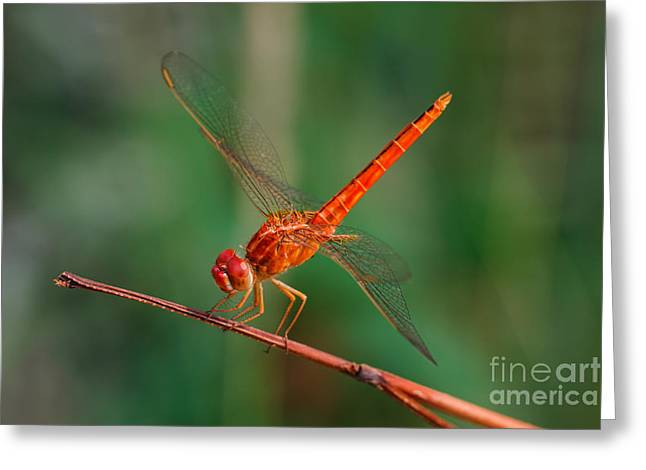 Dragonfly, Macro Dragonfly, Dragonfly Greeting Card