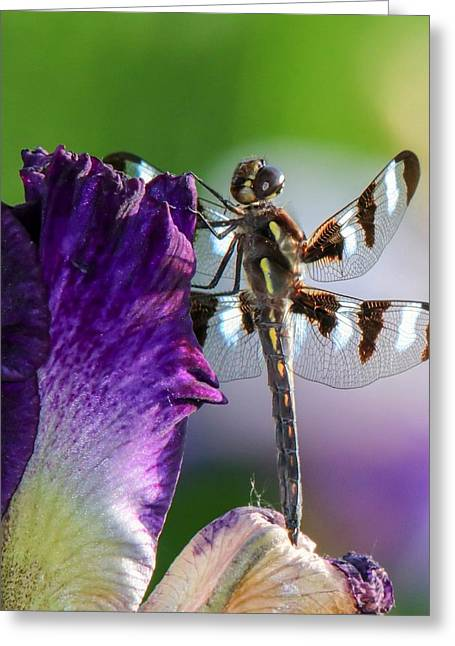 Dragonfly On Iris Greeting Card