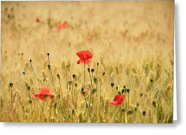 Dream Poppies. Spring Fields Greeting Card