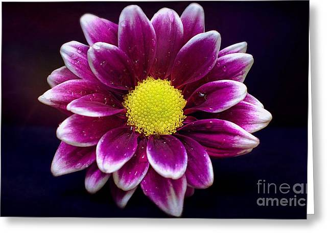 Droplets On A Daisy Greeting Card