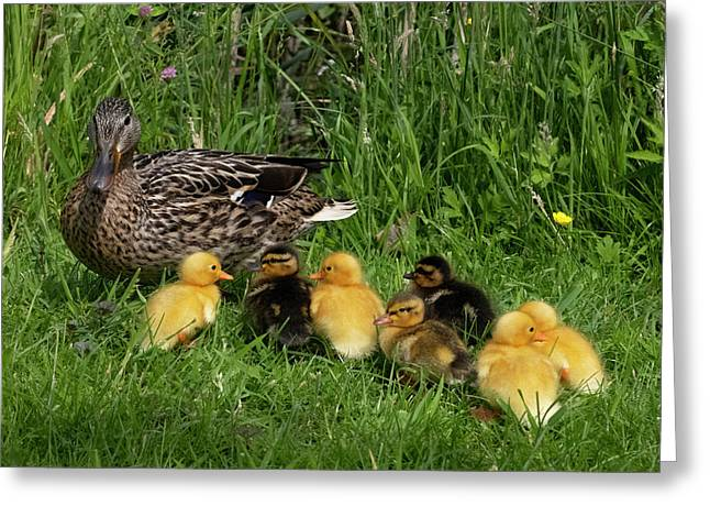 Duck And Cute Little Ducklings Greeting Card