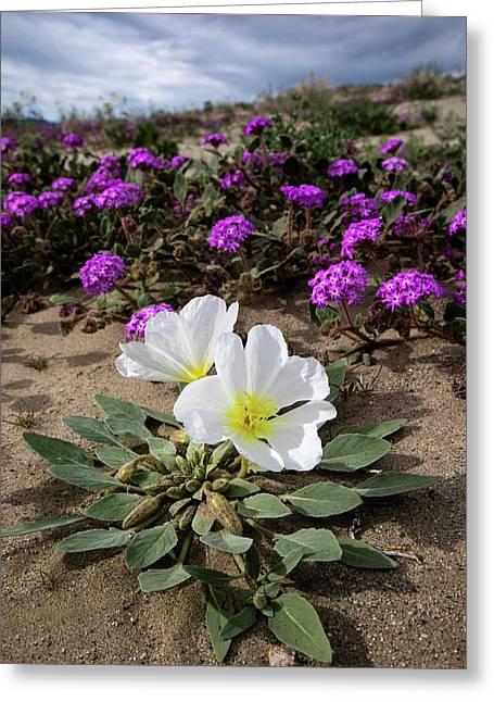 Dune Evening Primrose  Greeting Card