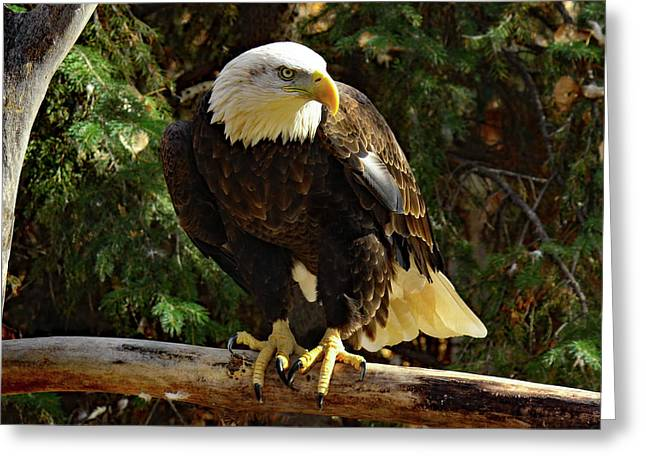 Eagle Alert Greeting Card