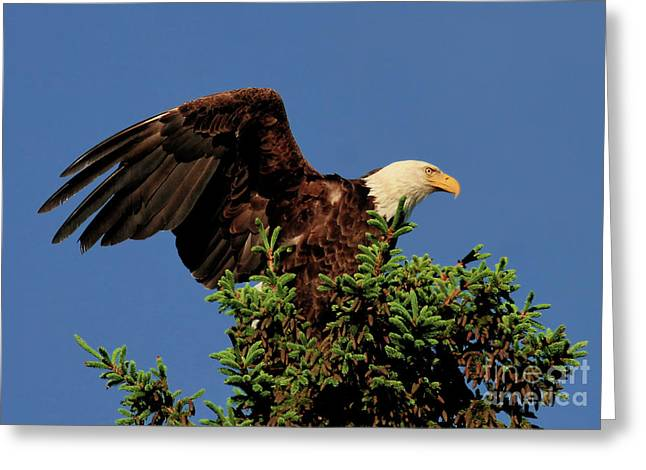 Eagle In Treetop Greeting Card
