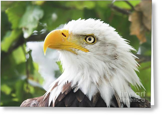 Bald Eagle Perched In A Tree Greeting Card
