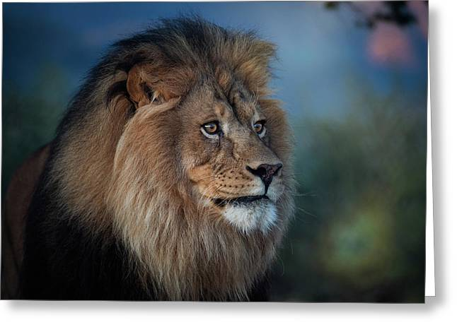 Early Morning Lion Portrait Greeting Card