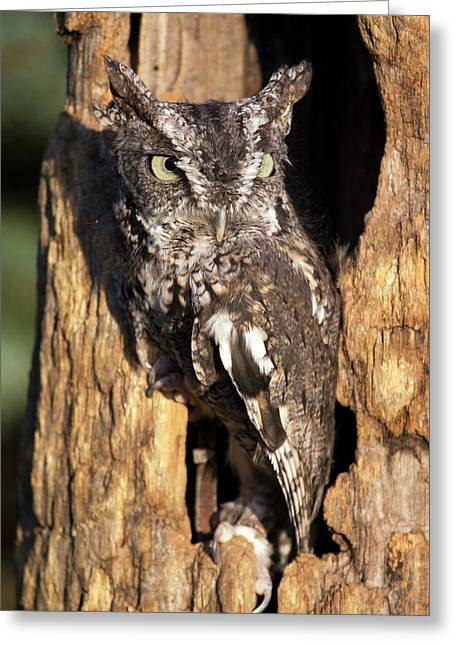 Greeting Card featuring the photograph Eastern Screech Owl 92515 by Rick Veldman