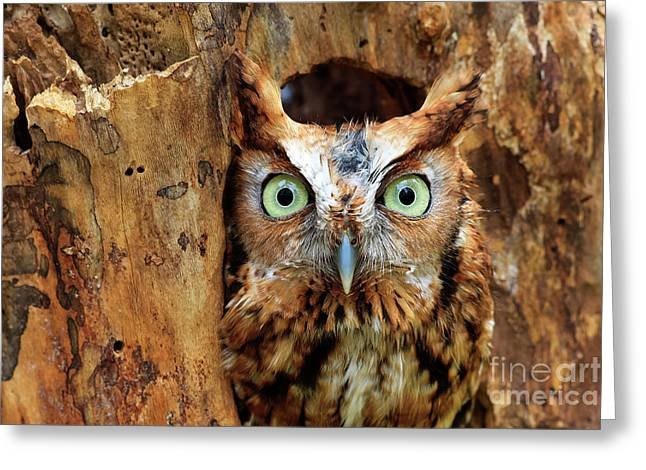 Eastern Screech Owl Perched In A Hole In A Tree Greeting Card