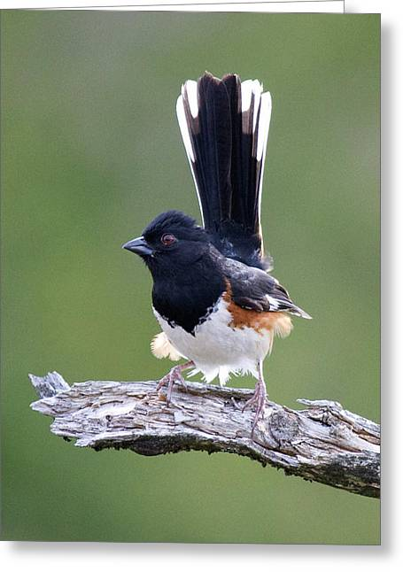 Greeting Card featuring the photograph Eastern Towhee 50413 by Rick Veldman