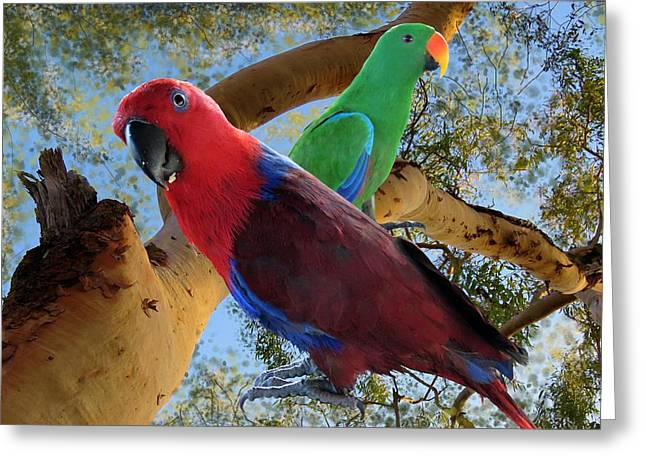 Eclectus Parrots Greeting Card
