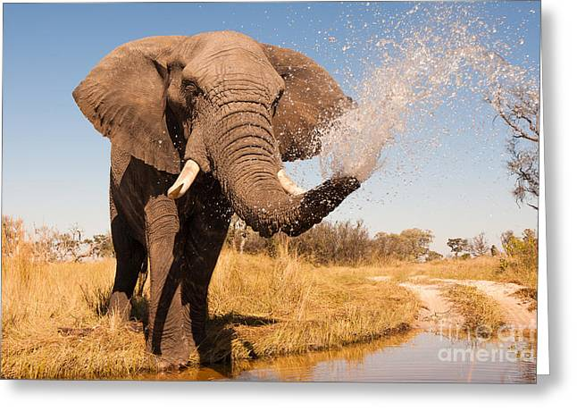 Elephant Spraying Water With His Trunk Greeting Card