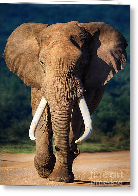 Elephant With Large Teeth Approaching - Greeting Card