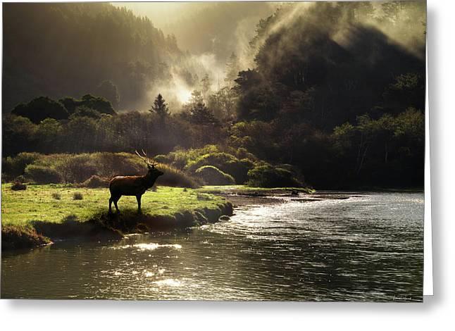 Elk In Sinkyone Wilderness Greeting Card